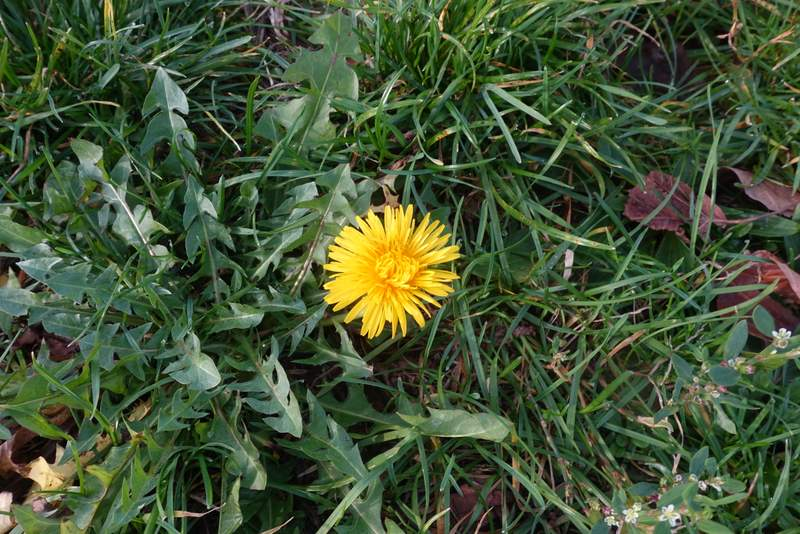 It was so warm out - 65F on Xmas Day! - that dandelions were sprouting for us all along the saunter.